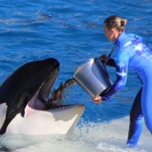Killer Whale Rewarded for Good Behavior